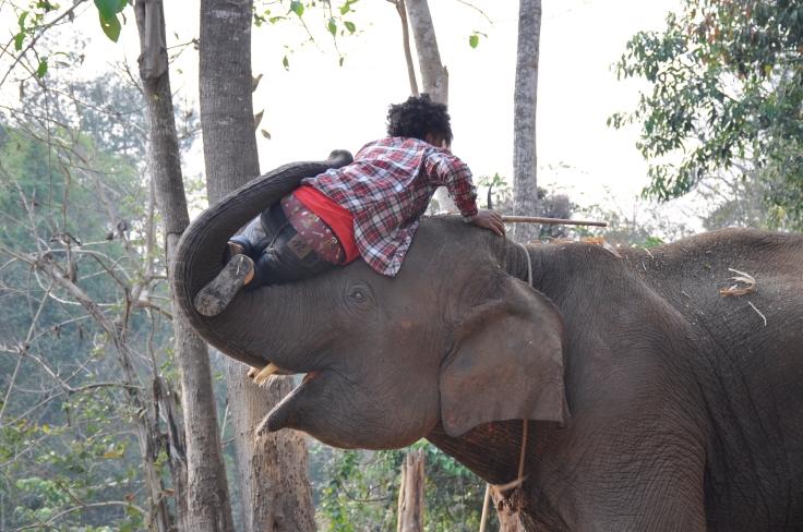 elephantmahoutchiangmai