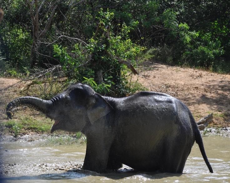 srilankaelephant