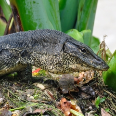 lizardofindonesia