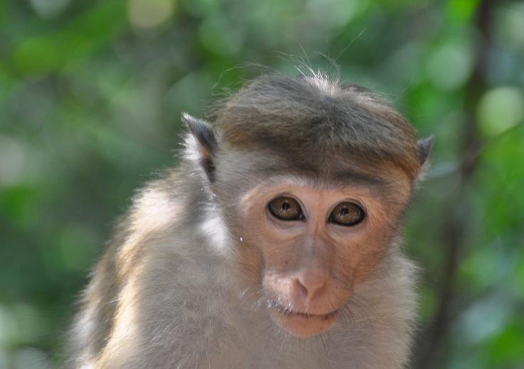 monkeyatdambullacave