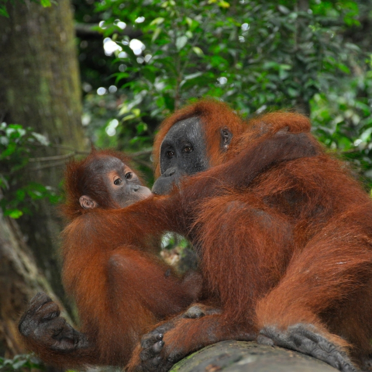 orangutanandbaby