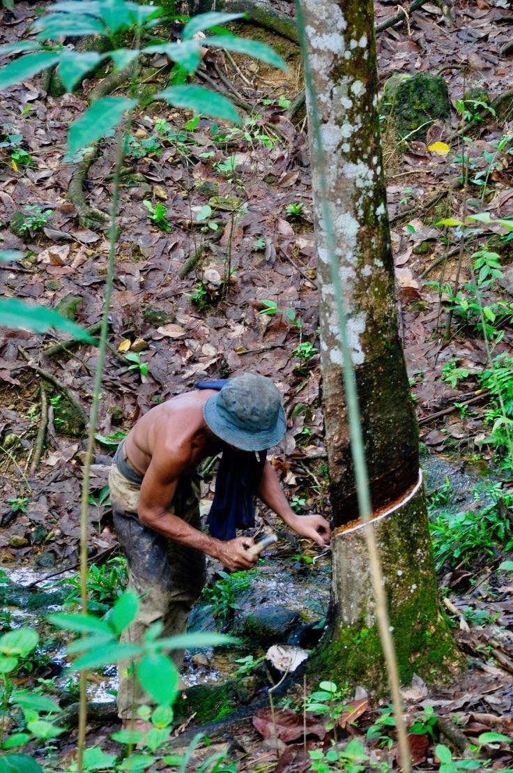 rubbertreefarming